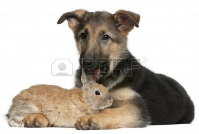 8972522-cachorro-de-pastor-aleman-4-meses-de-edad-lamiendo-un-conejo-de-fondo-blanco