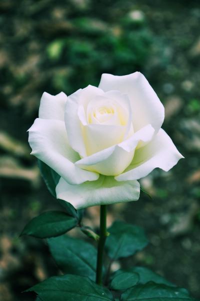rosa-blanca-white-rose-flores-de-mi-jardín-josé-luis-avila-herrera